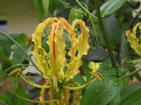 Tamil Eelam National Flower