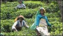 Tea pickers at Bamboragala Estate