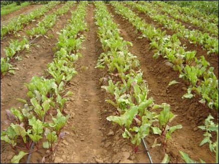 Rows of Beet-root in the pilot study fed by drip irrigation. Beet tops are a source of vitamin A and the roots are a good source of vitamin C.