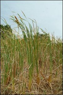 Typha augustifolia