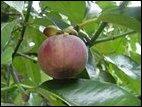Garcinia mangostana : Mangosteen fruit and foliage. [Courtesy: benikou ...