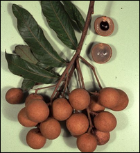 Nurai Fruit
